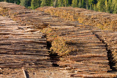 Felled pine trees in northern canada Royalty Free Stock Photo