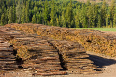 Felled pine trees in northern canada Royalty Free Stock Photos