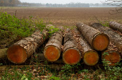 Felled pine trees Royalty Free Stock Images