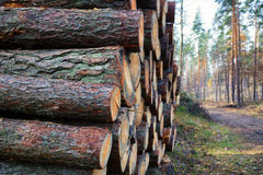 Felled pine trunks lying in the forest Royalty Free Stock Photos