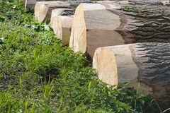 Felled poplar trees from close. Closeup of old and thick felled poplar tree trunks waiting for transport to the sawmill. The photo was taken on a sunny day in Stock Photo