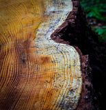 Felled spruce stump Royalty Free Stock Image