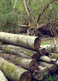 Felled stacked tree trunks in woodland Stock Photo