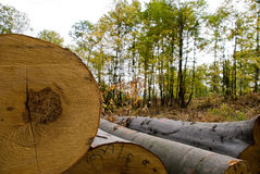 Felled timber. View of forest in perspective with felled timber Stock Photos