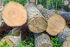 Felled timber on the felled area Stock Images