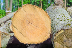 Felled timber in the forest Stock Images