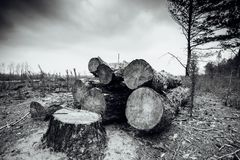 Felled timber in the forest Royalty Free Stock Images