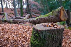 Felled Tree in Woods. Felled Tree in Autumn Woods Royalty Free Stock Photos
