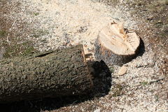 Felled tree. Closeup of newly felled tree with sawdust scattered on ground Stock Photos