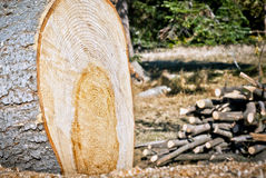 felled tree in the forest Stock Photos