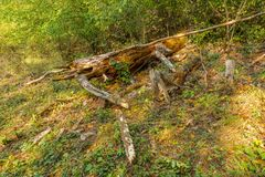 Felled tree in forest, dead plant, timber trunk royalty free stock image