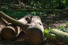 Felled tree in the forest. Near the city Jena Royalty Free Stock Photo