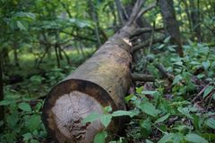 Felled tree in the forest royalty free stock photo