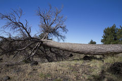 Felled tree Royalty Free Stock Images