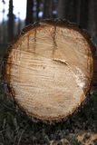 Felled tree trunk in a forest. Close up detailed view of the cross section of a felled tree trunk in a forest showing the marks of the saw, part of the forestry stock photography