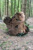 Felled Tree Trunk Royalty Free Stock Photos