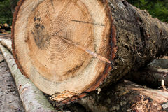 Felled tree. Trunk resting on a pile of logs stock images