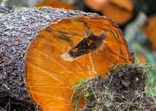 Felled tree trunk Royalty Free Stock Photo