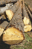 Felled tree trunks Royalty Free Stock Photo