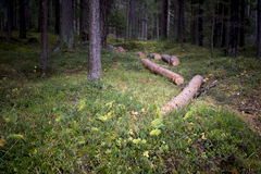 Felled tree trunks in a dense forest. Felled tree trunks lying on the ground in a dense forest in a power and energy or forestry, logging and lumber concept Stock Photo