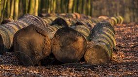 Felled tree trunks on the edge of a footpath in a winter forest. Seen at Saarner Mark, Muelheim an der Ruhr, North Rhine-Westphalia, Germany Stock Photos