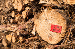 Felled tree trunks. Felling of trees in the forest Stock Images