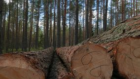 Felled tree trunks. In the forest stock video footage