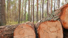 Felled tree trunks. In the forest stock footage