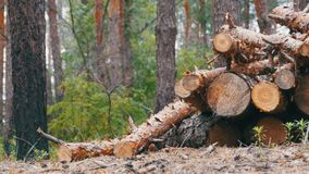 Felled Tree Trunks in the Forest. Cut logs are stacked in a forest. Spruce logs in the forest, prepared for transport. Logs and some trees behind. Still summer stock footage