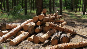 Felled Tree Trunks in the Forest. Cut logs are stacked in a forest. Spruce logs in the forest, prepared for transport. Logs and some trees behind. Still summer stock video footage