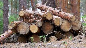 Felled Tree Trunks in the Forest. Cut logs are stacked in a forest. Spruce logs in the forest, prepared for transport. Logs and some trees behind. Still summer stock video