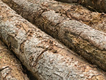 Felled tree trunks in the forest. Diagonal view Royalty Free Stock Photos