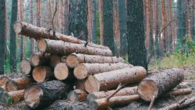 Felled Tree Trunks in the Forest. Folding logs felled into a heap. The felled trees fall on a pile of firewood. Cut logs are stacked in a forest. Still summer stock video