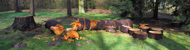 Felled tree. Which is cut into logs Stock Photo