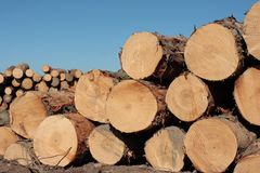 Felled trees. Pinus Radiata logs waiting for the truck to pick them in a clear-felled area of forest Stock Photo