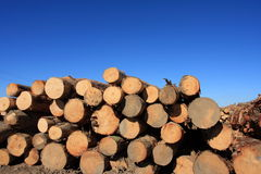 Felled trees. Pinus Radiata logs waiting for the truck to pick them in a clear-felled area of forest Stock Photography