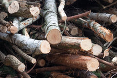 Felled trees from. The forest Stock Image