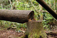 Felled trees in a forest Stock Image