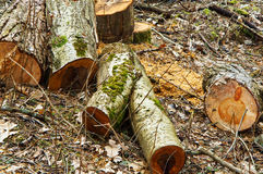 Felled trees, harvesting, wood, tree stumps, tree cutting Stock Photo