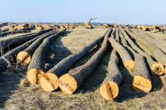 The felled trees lie on the ground. Large logs - peeled trunks from branches. Stock Photos