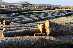 The felled trees lie on the ground. Large logs - peeled trunks from branches Stock Photos