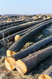The felled trees lie on the ground. Large logs - peeled trunks from branches. Cleaning forests. Royalty Free Stock Photo