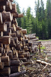 Felled trees near coniferous forest Stock Images