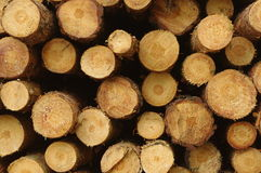 Felled trees. The photograph shows stumps of felled trees Stock Photography