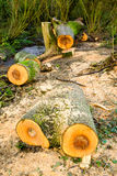Felled trees/sawn logs in woodland Stock Photo