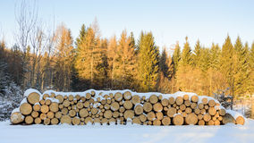 Felled trees stacked, ready transportation to the sawmill Stock Image