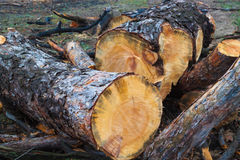 Felled trees. Felled tree, growth rings, pile of pine logs royalty free stock photo
