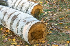 Felled trunks of birch trees Royalty Free Stock Photography