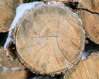 Felled trunks of trees. Circular saw cut Royalty Free Stock Photo