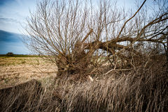 Felled willow tree. Mature willow tree felled on the edge of a wet meadow; still growing from the tump Royalty Free Stock Photos